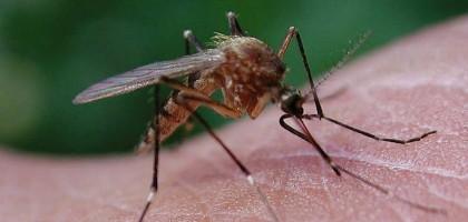 1_mosquito