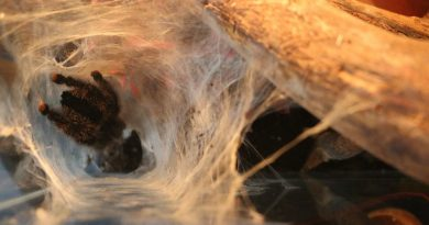 6 - Tarantula-Avicularia urticans