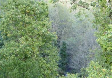 Navigator planta carvalhos de Monchique para preservação da espécie